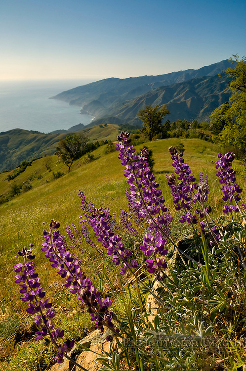 Lupine wildflowers and green hills in Spring on the Big Sur Coast, Monterey County, California Lupine wildflowers and green hills in Spring on the Big Sur Coast, Monterey County, California