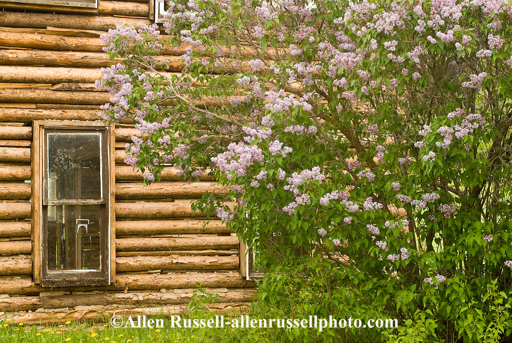 Deserted log house with lilac bush outside of Philipsburg Montana