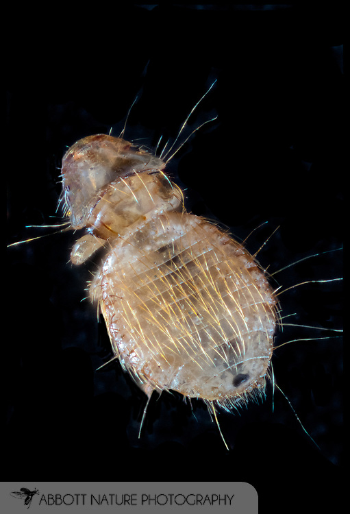 Common Peafowl Louse (Goniodes pavonis) collected on Peacock (Pavo sp.)<br /> UTAH: Salt Lake City Co.<br /> Salt Lake City; Tracy Aviary<br /> 29-April-2014<br /> J.C. Abbott &amp; K.K. Abbott