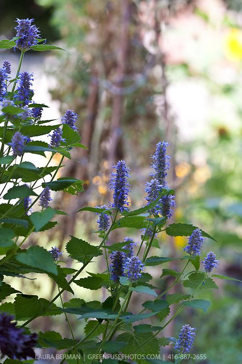Anise hyssop or Blue giant hyssop (Agastache foeniculum syn. Agastache anethiodora)