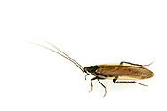 Southern Wood Cockroach (Parcoblatta divisa)<br /> United States: Alabama: Tuscaloosa Co.<br /> Tulip Tree Springs off Echola Rd.; Elrod<br /> 28-May-2016<br /> J.C. Abbott #2822 & K.K. Abbott