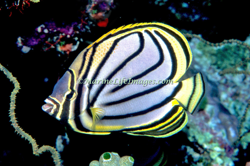 Myer's Butterflyfish iinhabit reefs. Picture taken Maldives.