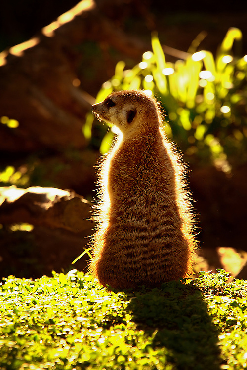 Meerkat in captivity, back lit