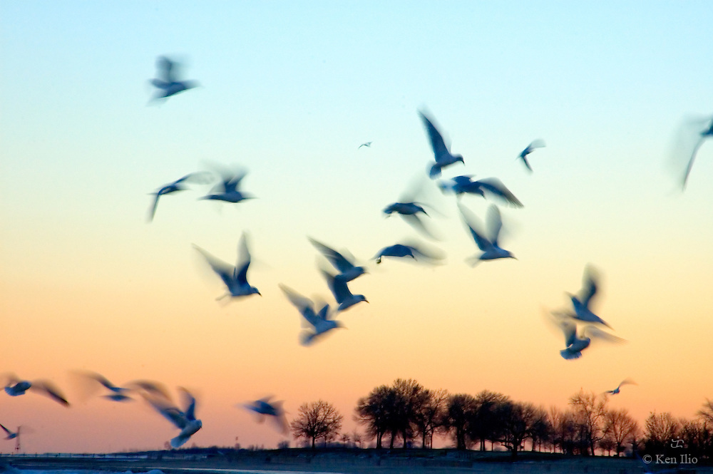Seagulls (ring-billed gull) flying at dusk