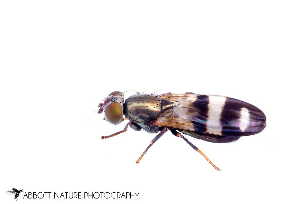Picture-winged Fly (Chaetopsis massyla)<br /> WISCONSIN: Columbia Co.<br /> 495 Tower Rd., Wyocena<br /> 43.48787, -89.30065  8-9-June-2014<br /> J.C. Abbott #2666 &amp; K.K. Abbott