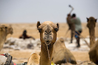 Camels, the main transportation in the Danakil Depression