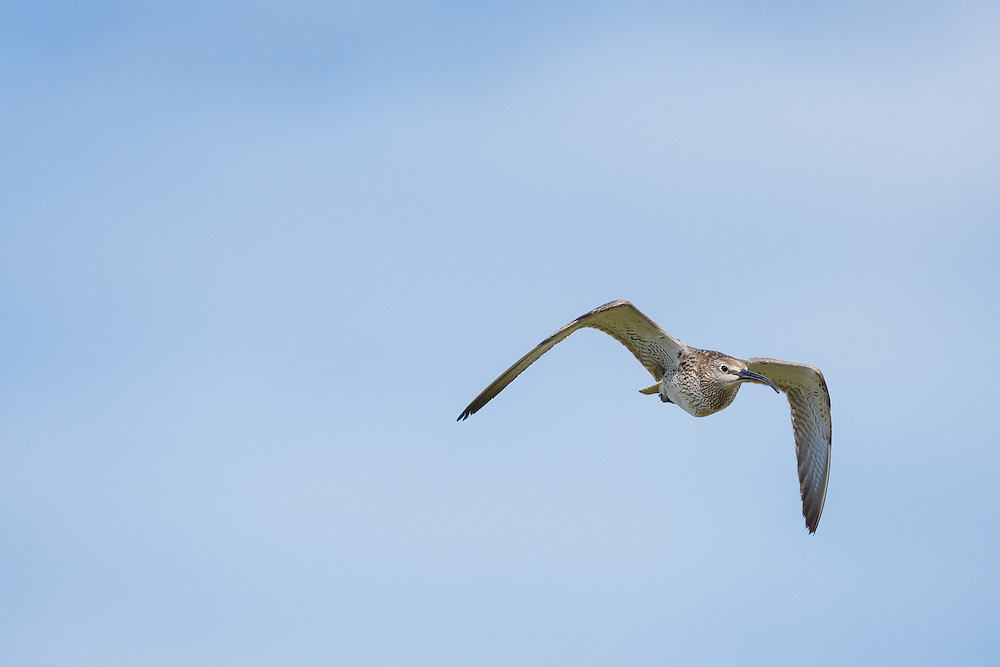 Whimbrel, Iceland