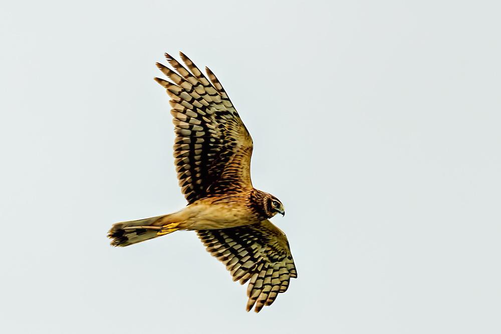 Northern Harrier -Circus cyaneus in flight