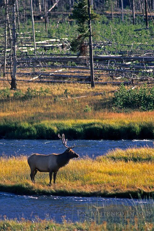 Bull Elk along the Madison River, near West Yellowstone, Yellowstone National Park, Wyoming