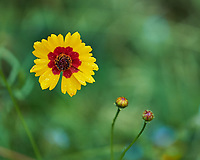 Coreopsis flower. Image taken with a Fuji X-H1 camera and 80 mm f/2.8 OIS macro lens
