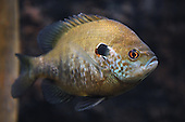 Sunfish and Perch Stock Photos