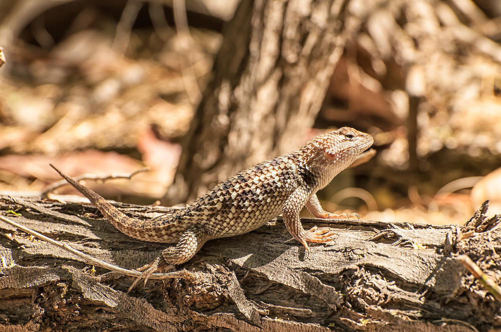 This spiny desert lizard (probably a  juvenile male)  pauses in its hunt for insects, spiders and the occasional centipede under the fallen palm fronds in the Coachella Valley Oasis.