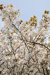 Prunus 'Taihaku' AGM - Great White Cherry