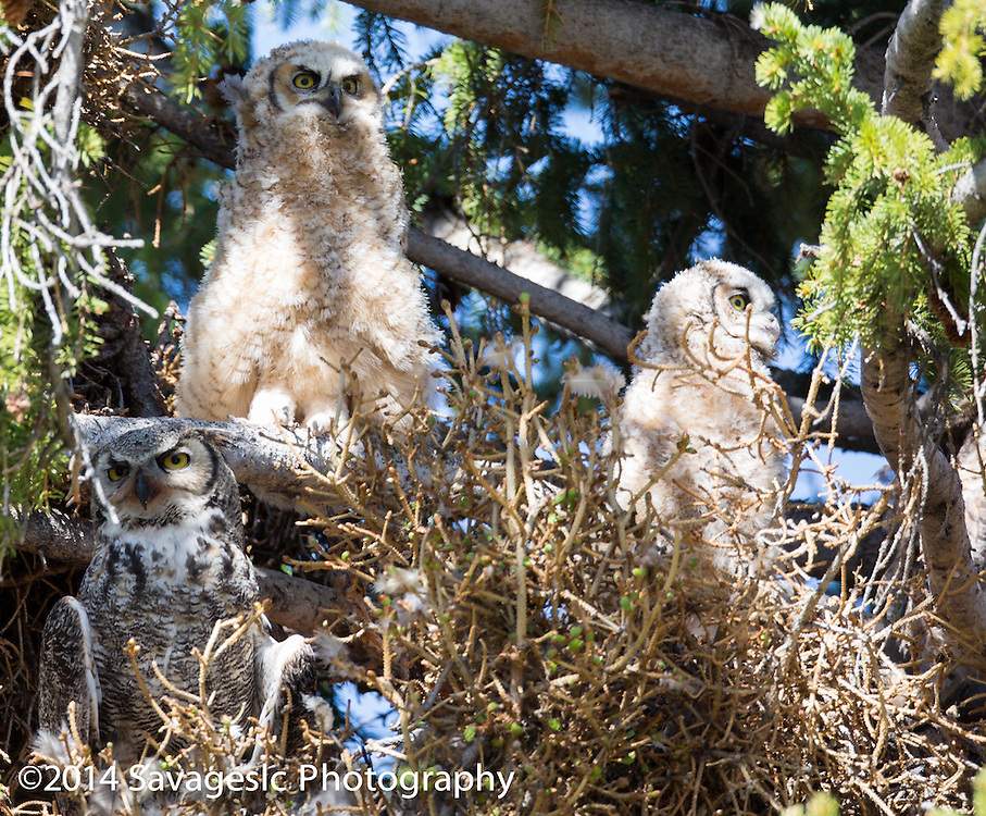Mother great horned owl and her two owlets.