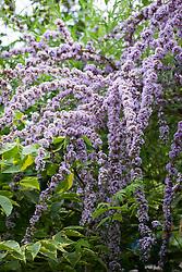 Buddleja alternifolia AGM - Alternate-leaved butterfly bush