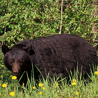 Black bear. Glacier National Park, Montana.