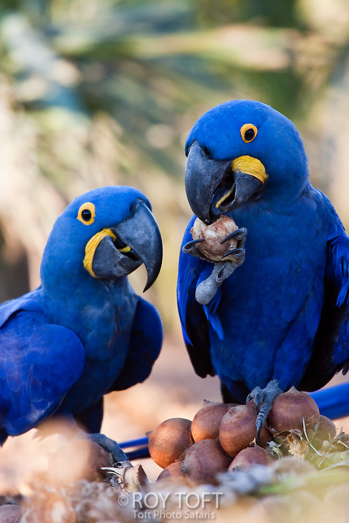 Close up view of two hyacinthine macaws eating palm nuts, Brazil.