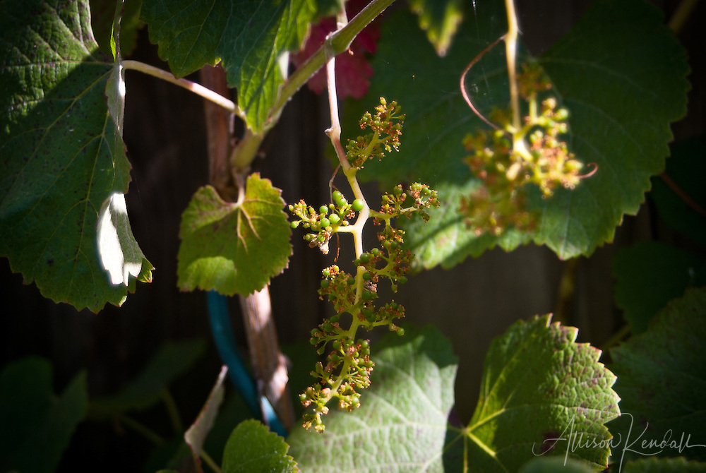 Young grapes form on a garden grapevine in the afternoon summer sun