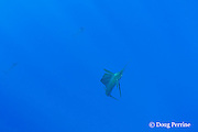 three Pacific sailfish, Istiophorus platypterus, hunting in a pack, Vava'u, Kingdom of Tonga, South Pacific