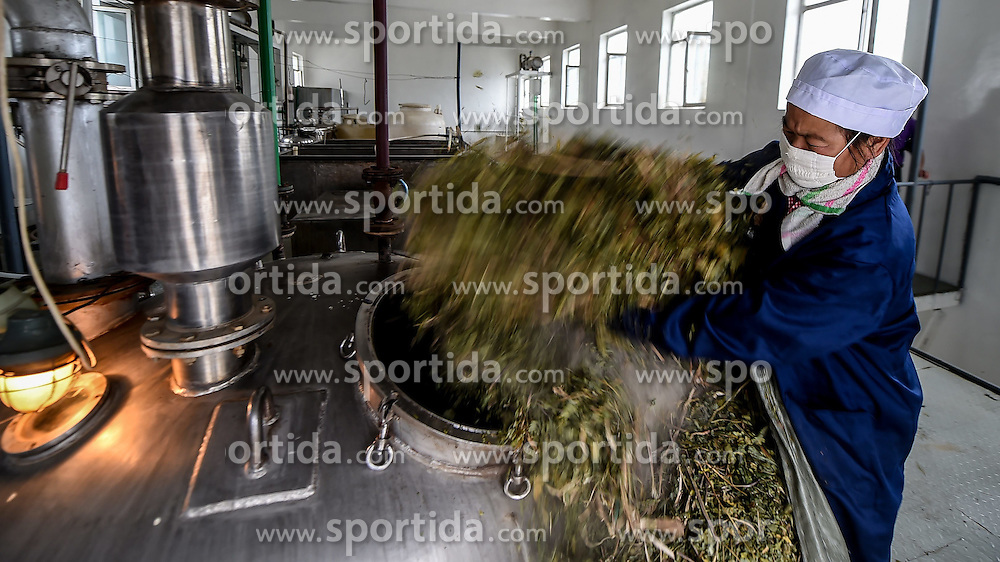 A worker processes ginseng leaves, which could be used for Chinese medicine, at a ginseng processing plant in Ji'an, northeast China's Jilin Province, June 11, 2015. China has a long history of cultivating ginseng, which is considered to be nutritious and to have medicinal value in traditional Chinese medicine. Considered as the world's largest ginseng production area, Jilin produces about 85 percent of China's total ginseng output and 70 percent of the world's output. More than 98 percent of ginseng in Jilin is currently cultivated, not grown in the wild. EXPA Pictures &copy; 2015, PhotoCredit: EXPA/ Photoshot/ Wang Haofei<br /> <br /> *****ATTENTION - for AUT, SLO, CRO, SRB, BIH, MAZ only*****