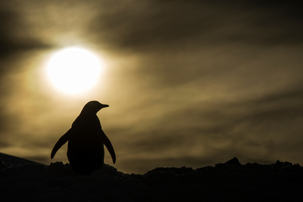 Antarctica, Enterprise Island, Silhouette of Gentoo Penguin (Pygoscelis papua) on snow slope along  Wilhelmina Bay