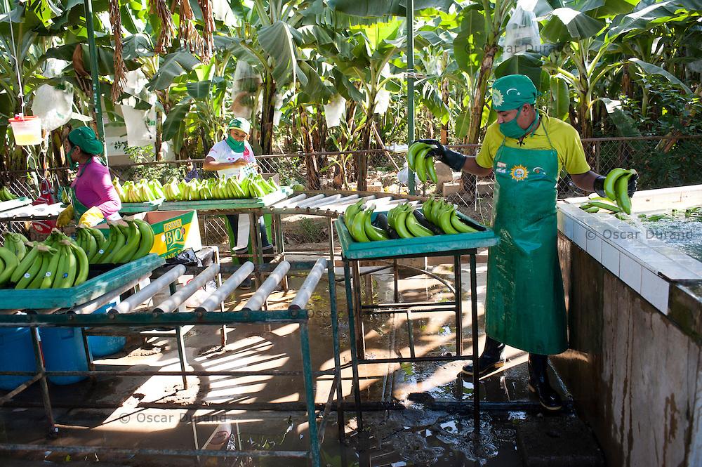 Photograph taken in Sullana, Piura in Peru, at the banana fields of CEPIBO (Central Piurana de Asociaciones de Pequeños Productores de Banano Orgánico)