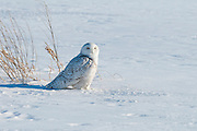 Snowy Owl, Bubo scandiacus, Midland County, Michigan