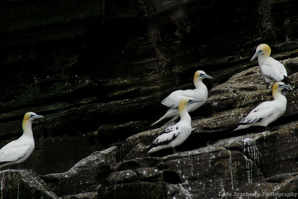 Gannets on the Isle of Noss in the Shetland Islands Gannets on the Isle of Noss in the Shetland Islands