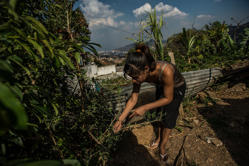 """CARACAS, VENEZUELA - MARCH 20, 2016: Yanny Trejo, 19, harvests Melissa offichina to show IRIN journalists how she makes natural, medicinal teas. Trejo began researching herbal medicine out of frustration that she could rarely find the medicines doctors prescribed for her children in local pharmacies. Now she grows medicinal plants, such as chinchamochina, Melissa officinalis, sabila, and aloe in the garden outside her shack and says she has used them to treat her daughter's chikungunya, scabies, colds and respiratory infections. """"It's like raising children 50 years ago, with home-made medicines and remedies,"""" she said.  PHOTO: Meridith Kohut for IRIN News"""