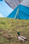 Ducks take up residence because it is so wet in hospitality camping - The 2016 Glastonbury Festival, Worthy Farm, Glastonbury.