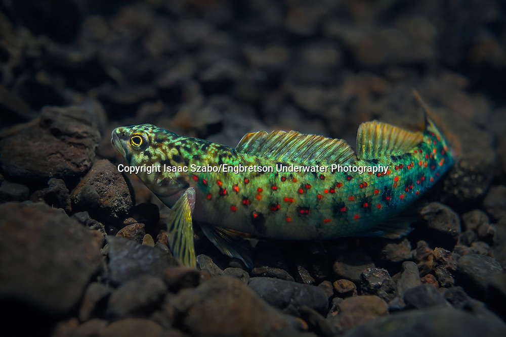 Caney Fork Darter<br />