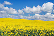 field of canola crop on hill under cumulus clouds at Woodstock, New South Wales, Australia