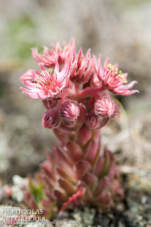 Joubarbes, Sempervivum sp., Stara Planina, Central Balkan National Park, Bulgarie