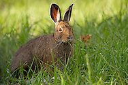As days lengthen during spring and summer, the snowshoe hare changes from his winter white coat to a rusty brown coat with white feet. This color change adaptation aids in the hare's survival in the harsh Rocky Mountain wilderness.