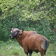 An endangered male Banteng bull in Huai Kha Kaeng Wildlife Sancturary in Thailand.