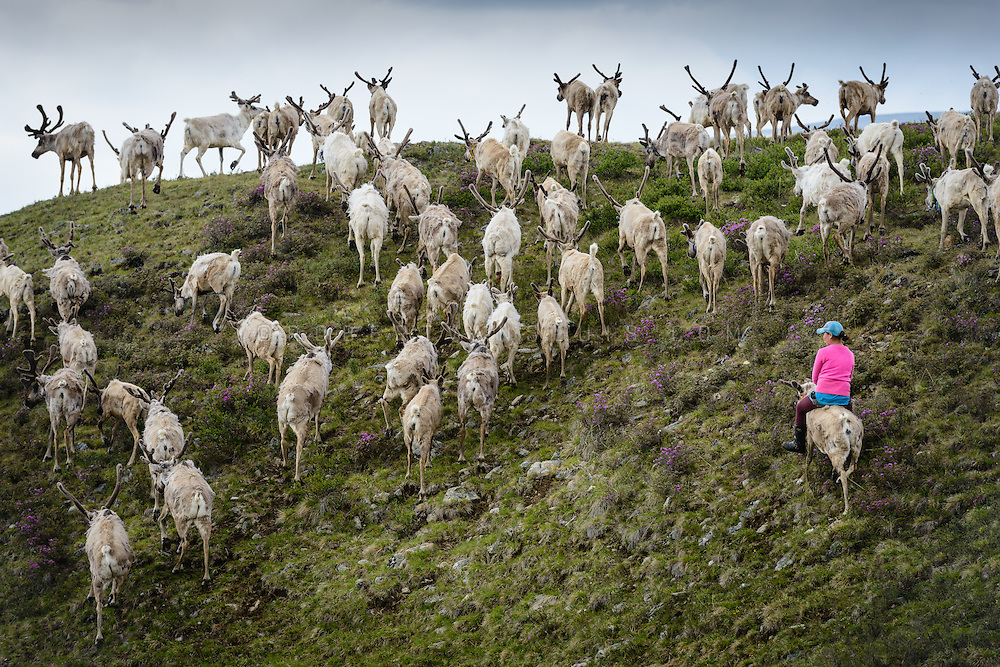 A Dukha (Tsaatan) woman riding a reindeer whilst driving her herd home. Approximately 200 families comprise the Tsaatan or Dukha community in northwestern Mongolia, whose existence is intimately linked to their herds of reindeer. Photo © Robert van Sluis