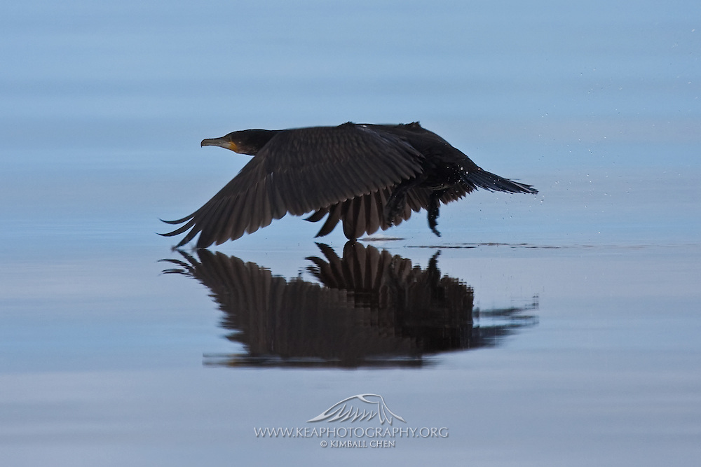 Black Shag, Okarito Lagoon, New Zealand
