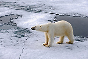 Polar bear (Ursis maritimus) in the pack ice at 81.5 degrees north off Spitsbergen, Svalbard, Norway.