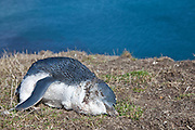 a deceased Blue Penguin found at Moeraki, New Zealand