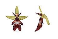 Fly Orchid - Ophrys insectifera