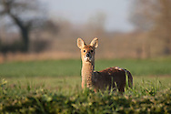 Chinese Water Deer (Hydropotes inermis) adult in field peering over hedge, Norfolk Broads, N.P