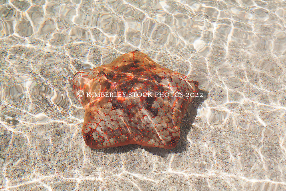 A cushionstar in the shallows of Montgomery Reef in Camden Sound