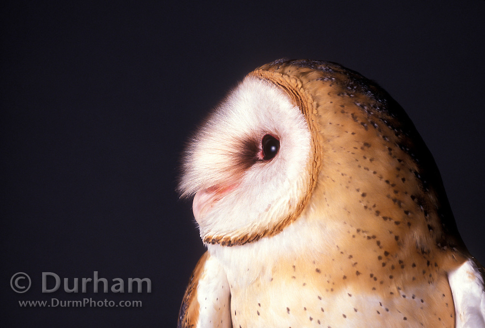 Studio portrait of a barn owl (Tyto alba) Portland, Oregon.