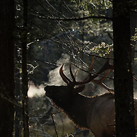 trophy bull elk bugling in forest