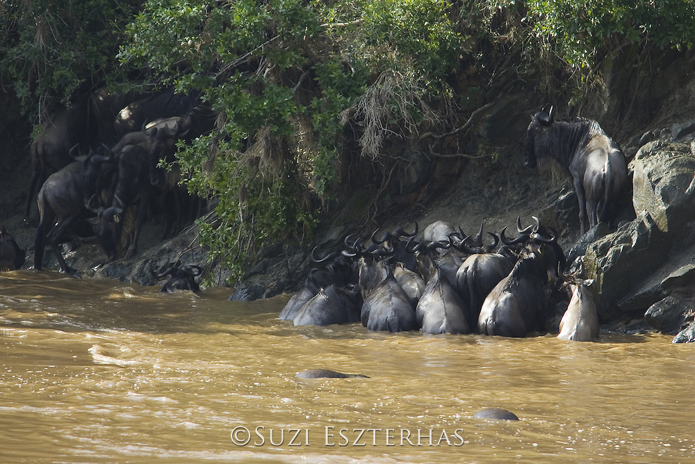 Wildebeest<br /> Connochaetes taurinus<br /> Huddled against the riverbank during high fatality crossing<br /> Masai Mara Triangle, Kenya