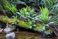 Fishbone Water Ferns (Blechnum nudum) by a rainforest stream in Tasmania, Australia