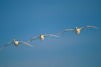 Three whooper swans (Cygnus cygnus) flying in a clear blue sky.