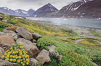 Roseroot blooming near a geothermal vent in Rømer Fjord in East Greenland.