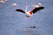 Greater flamingo (Phoenicopterus ruber) landing on shallow waters of the lagoon of Fuente de Piedra, Málaga, Andalucia. Spain.