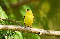 American Goldfinch (Carduelis tristis), Gabriola, British Columbia, Canada   Photo: Peter Llewellyn